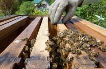 bees at RDI