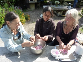 making a rose poultice with Sarah, Christine and Penny