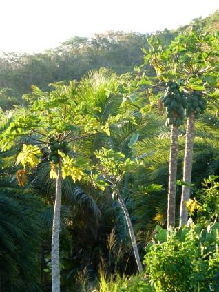 some papaya trees
