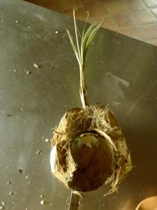older coconut after I took out the inside