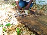 processing iguana